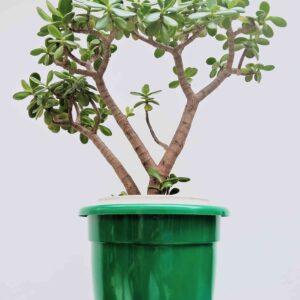 planta-jade-media