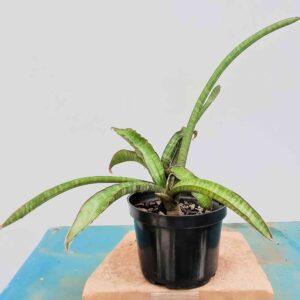 planta-espada