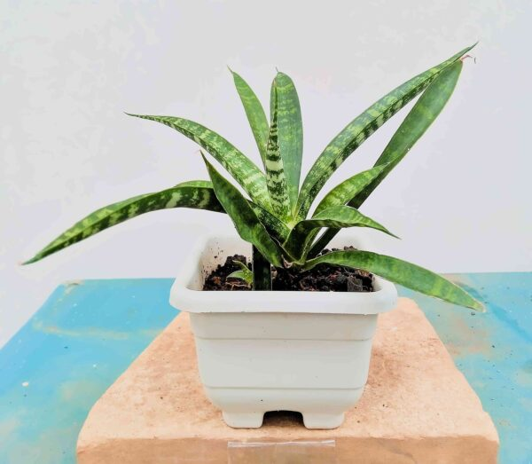 planta-espada-pequena