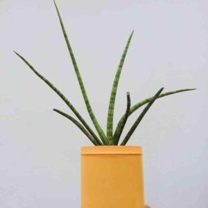 planta-lanca-media