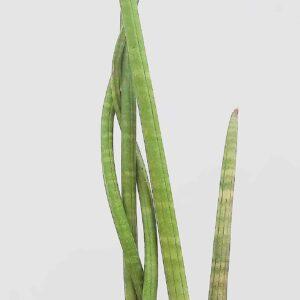 planta-lanca-grande