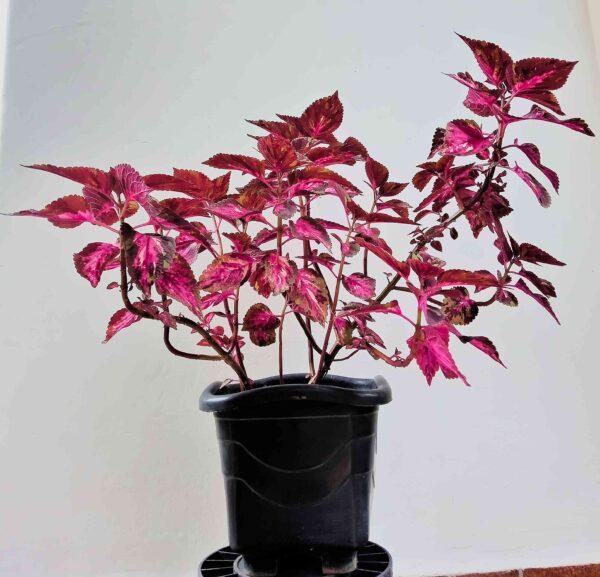 planta-coracao-magoado