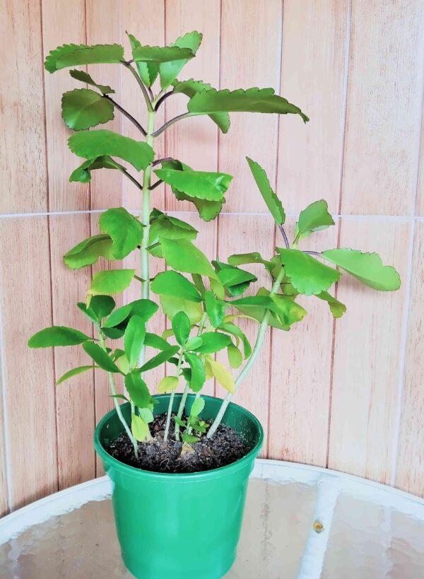 planta-folha-da-fortuna