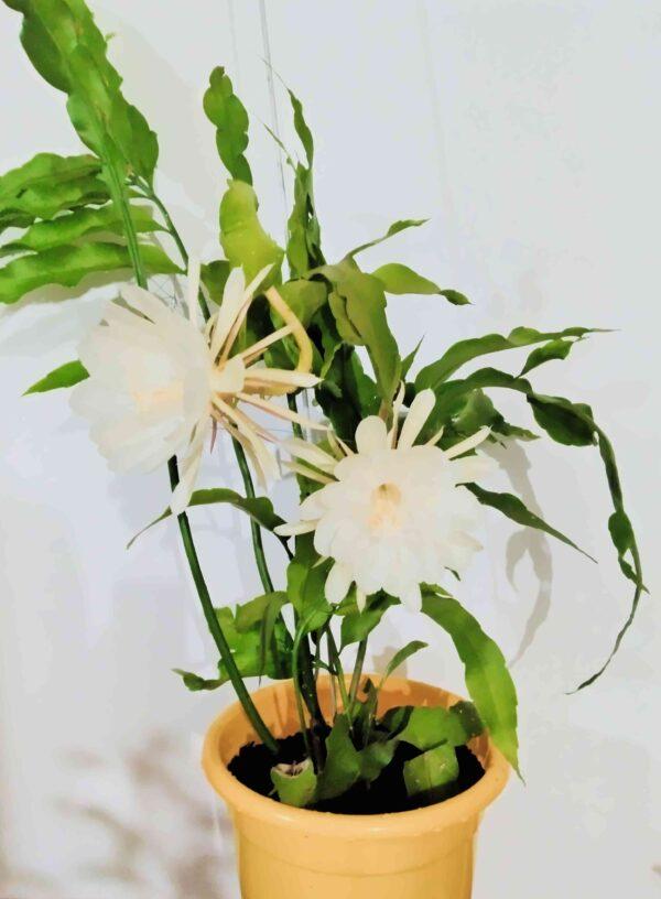 planta-dama-da-noite