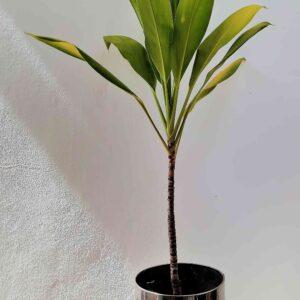 planta-dracena