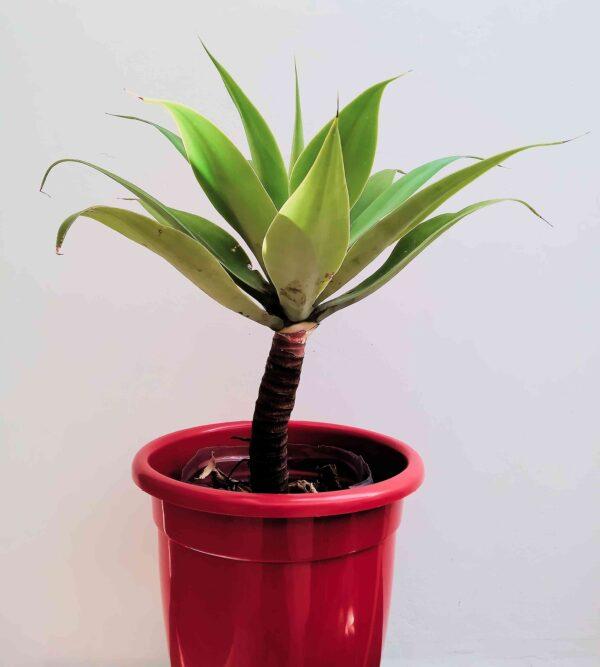 planta-agave-dragao
