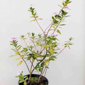 planta-maria-sem-vergonha