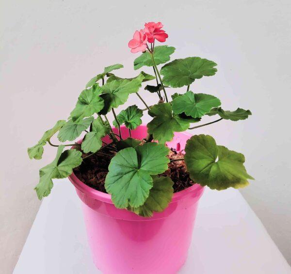 planta-geranio-rosa