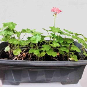 planta-geranio-rosa-em-jardineira