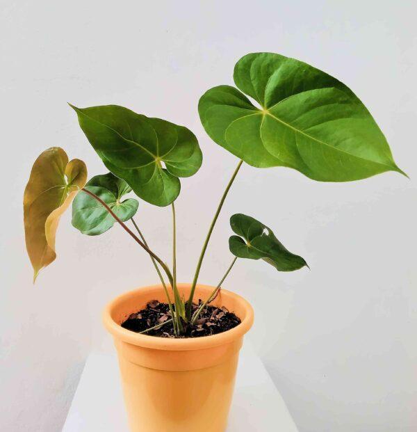 planta-anturio-vermelho