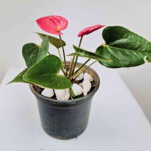 planta-mini-anturio-vermelho
