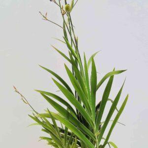 planta-lirio