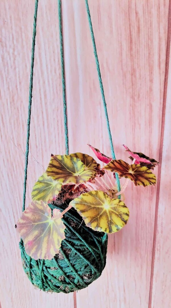 planta-begonia-rex-em-bola-artesanal