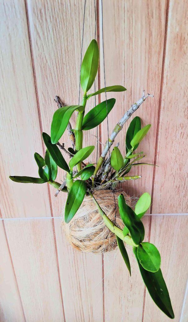 planta-orquidea-em-bola-de-sisal