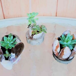 artesanato-suculentas-em-conchas