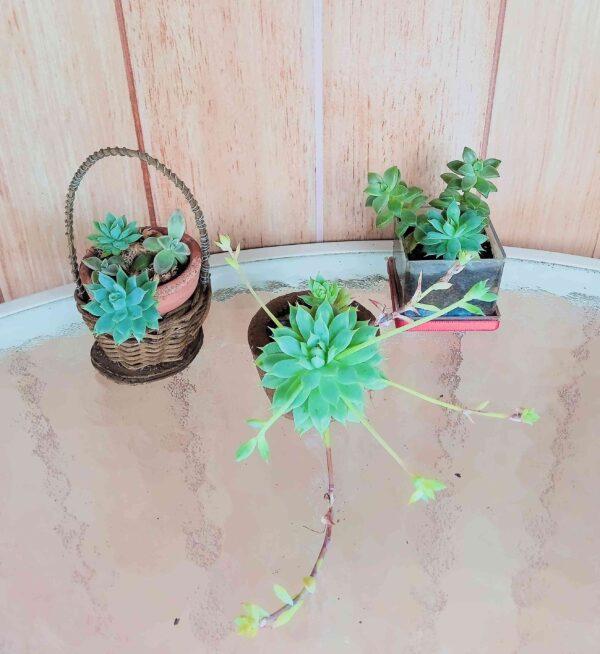 plantas-mini-suculentas-variadas
