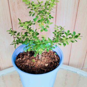 planta-buxinho