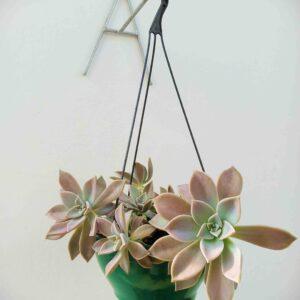 planta-suculenta-de-pedra