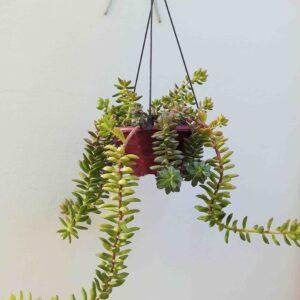 planta-suculenta-dedo-de-moca