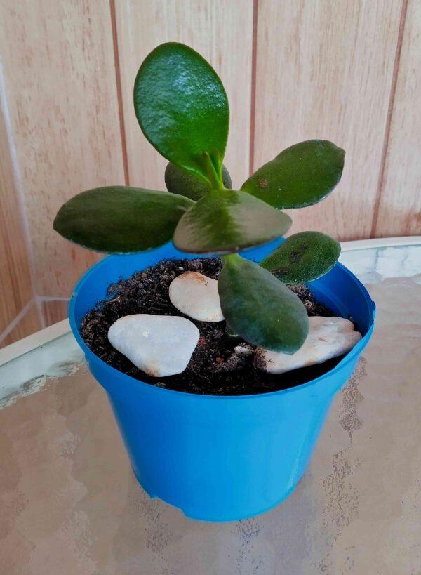 planta-jade