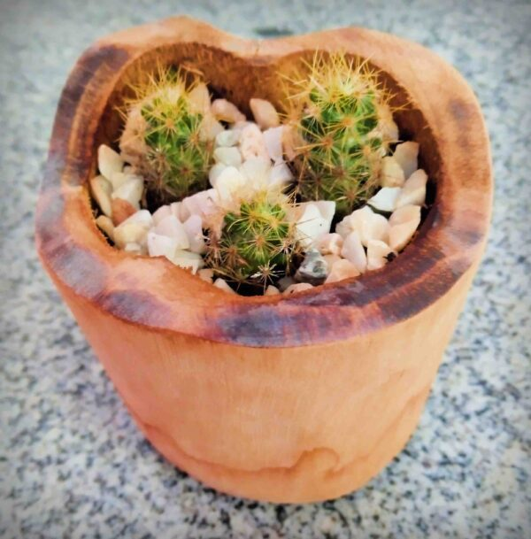 planta-cacto-de-mamilo-texano